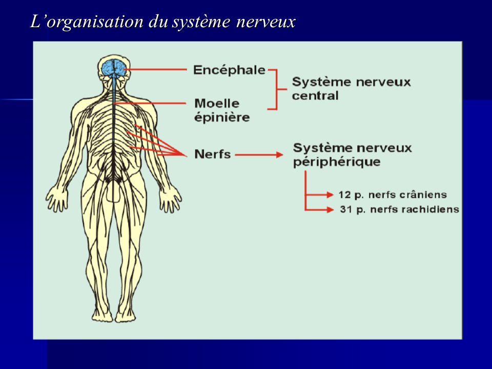 L'organisation du système nerveux