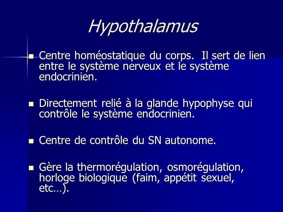 Hypothalamus Centre homéostatique du corps. Il sert de lien entre le système nerveux et le système endocrinien.