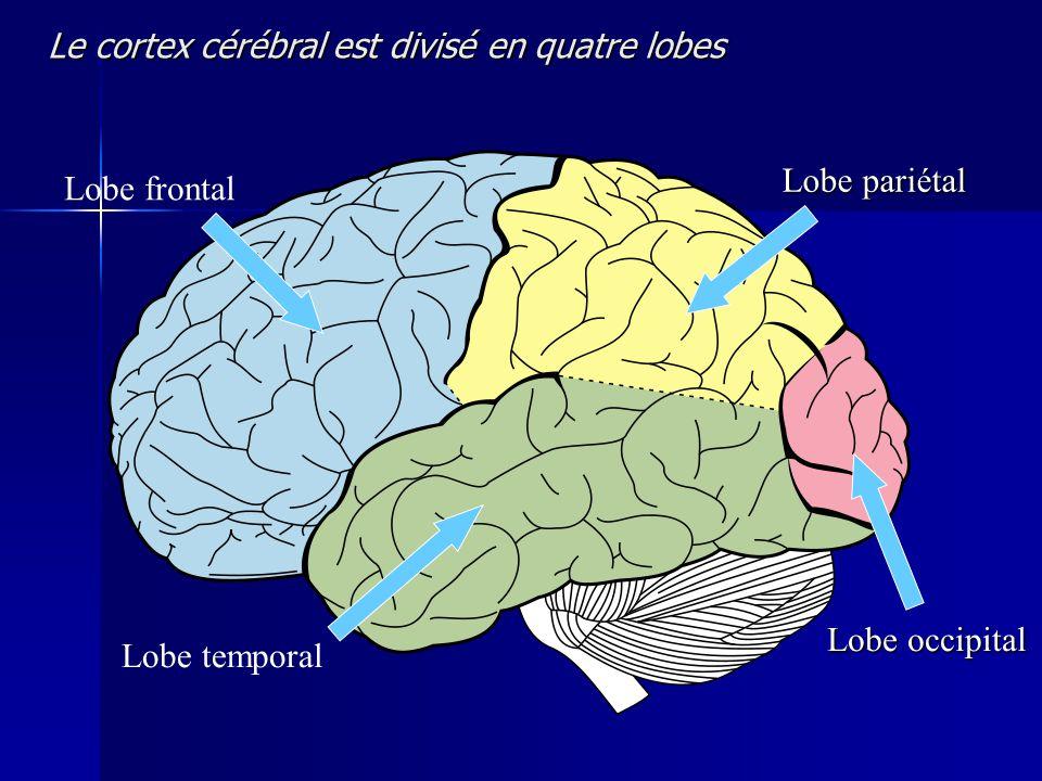 Le cortex cérébral est divisé en quatre lobes