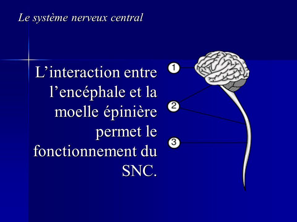 Le système nerveux central