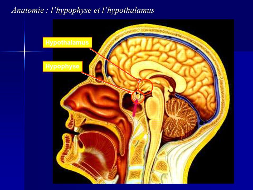 Anatomie : l'hypophyse et l'hypothalamus