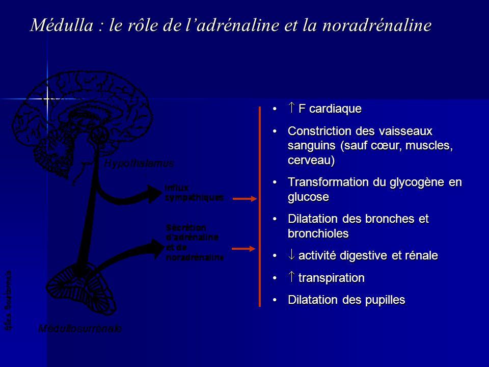 Médulla : le rôle de l'adrénaline et la noradrénaline