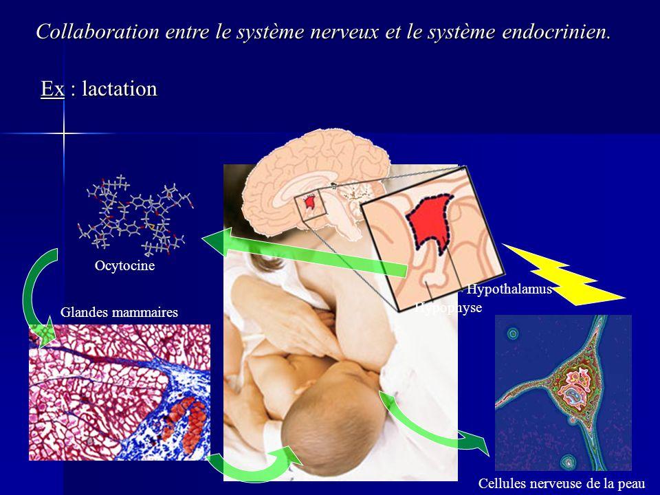 Collaboration entre le système nerveux et le système endocrinien.