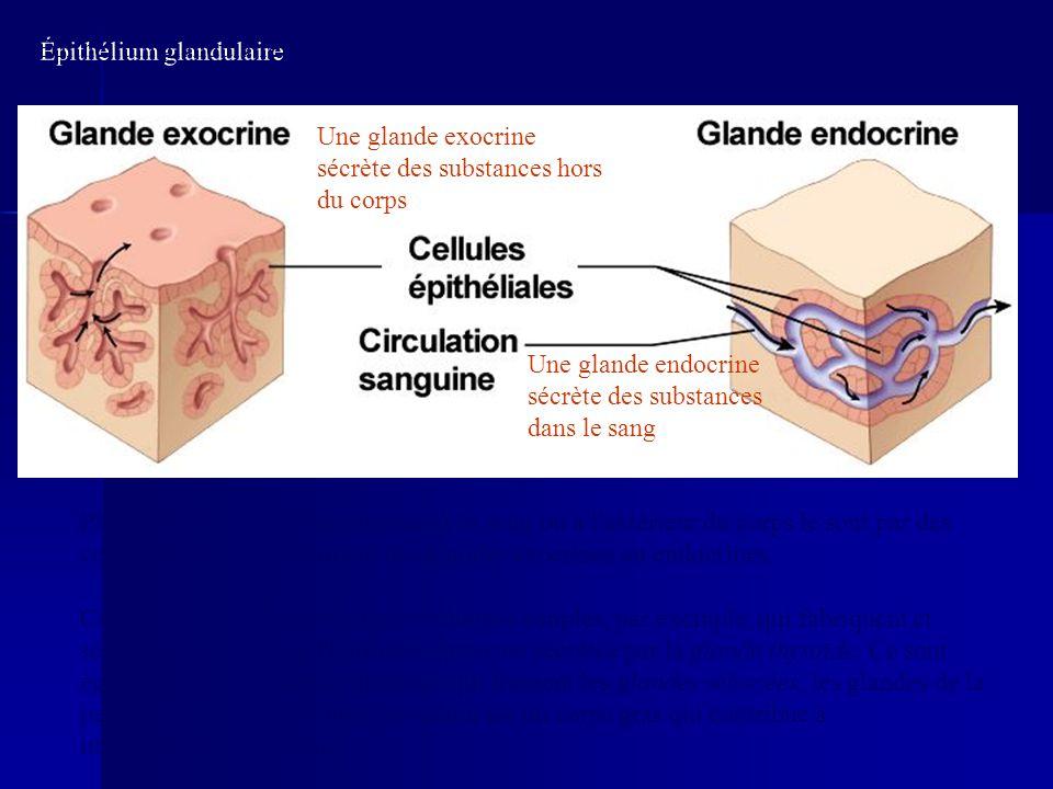 Épithélium glandulaire