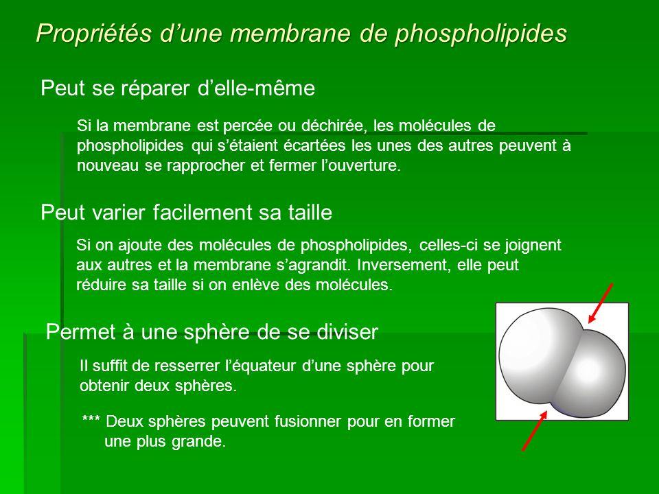 Propriétés d'une membrane de phospholipides
