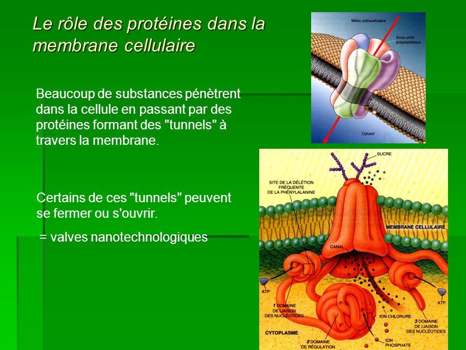 Le rôle des protéines dans la membrane cellulaire