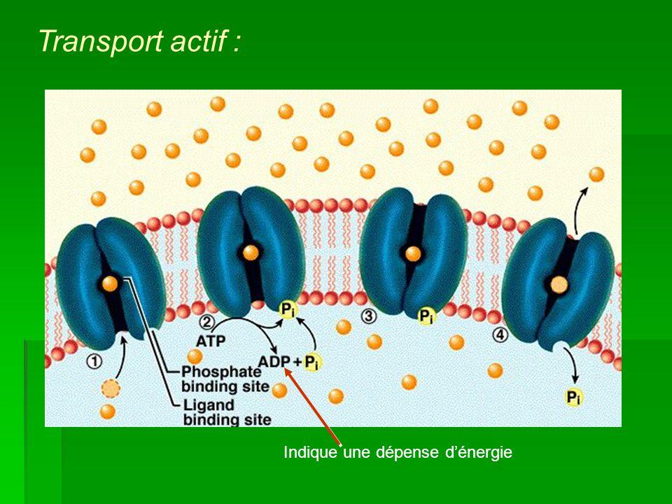 Transport actif : Indique une dépense d'énergie