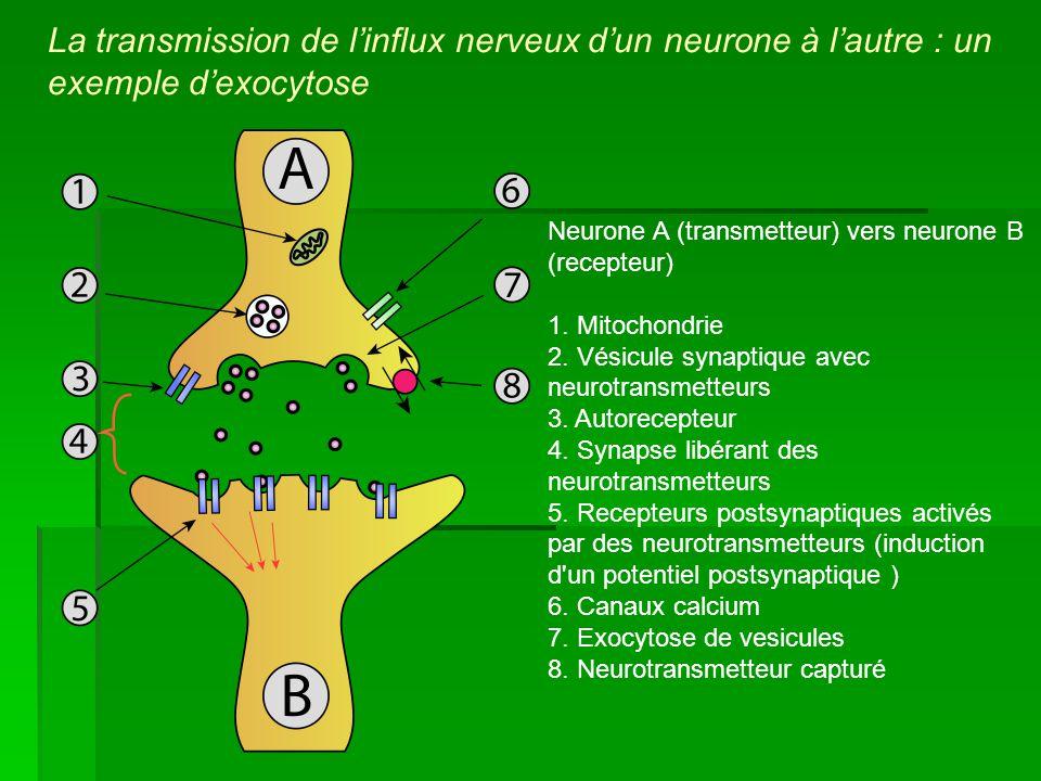 La transmission de l'influx nerveux d'un neurone à l'autre : un exemple d'exocytose