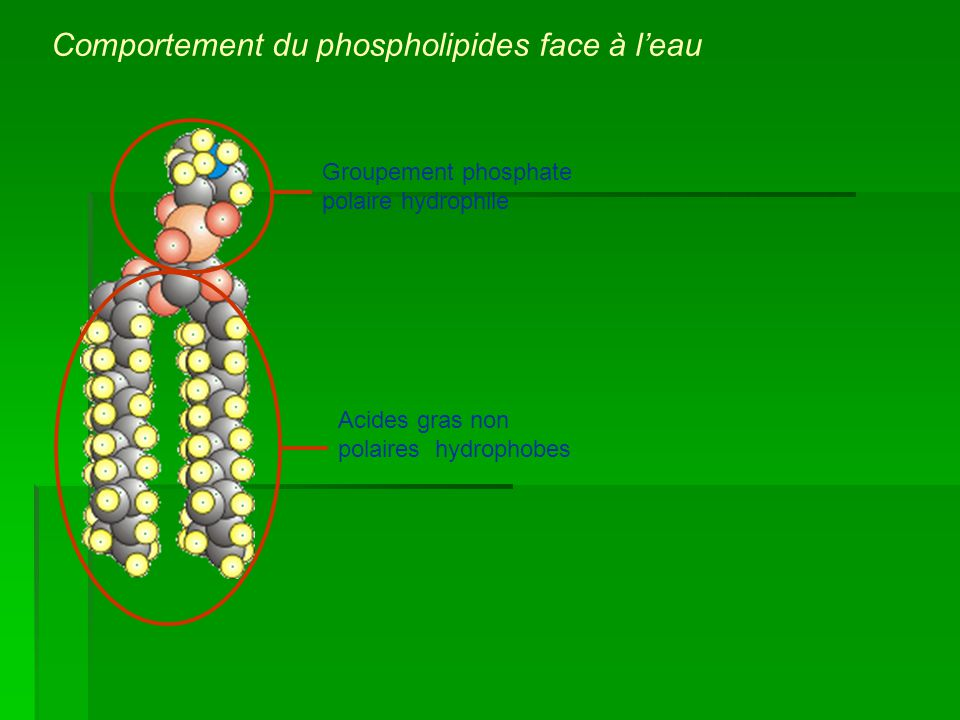 Comportement du phospholipides face à l'eau
