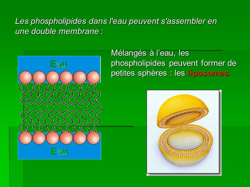 Les phospholipides dans l eau peuvent s assembler en une double membrane :