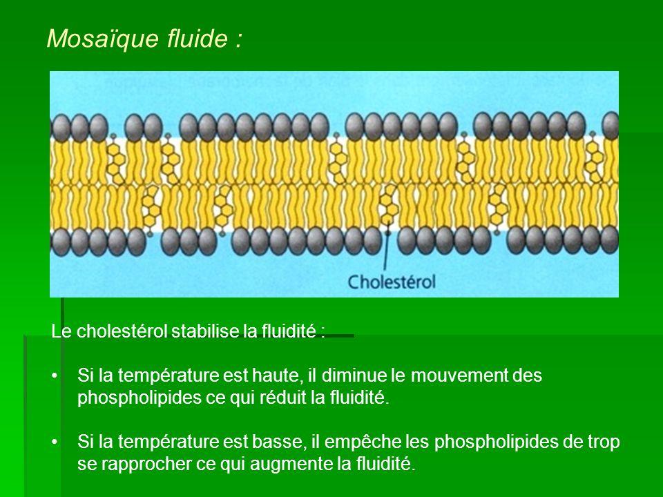 Mosaïque fluide : Le cholestérol stabilise la fluidité :