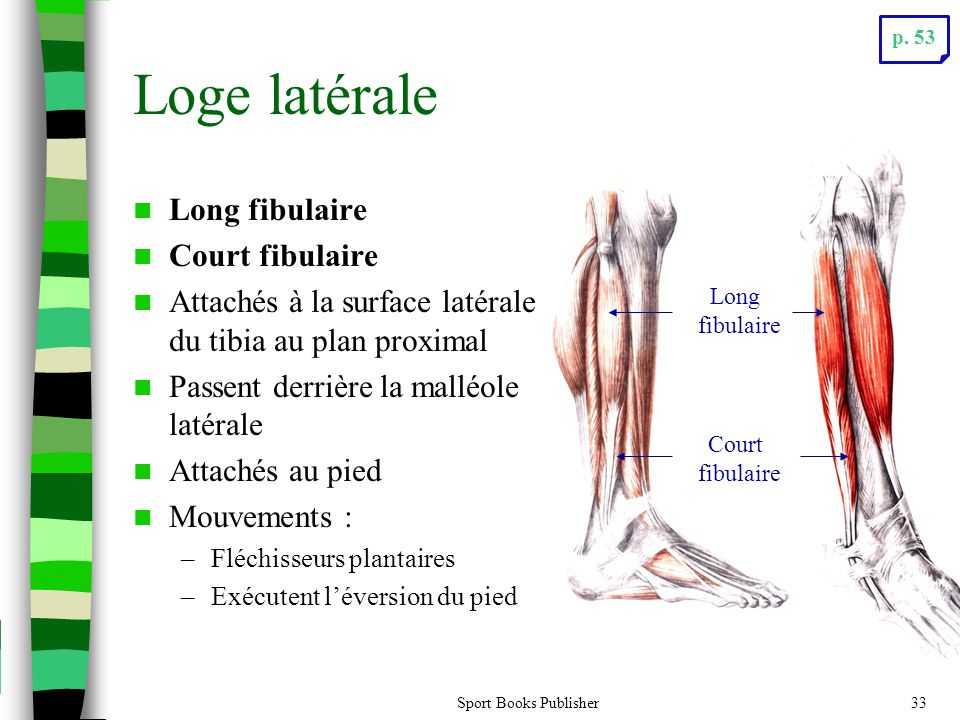 Loge latérale Long fibulaire Court fibulaire