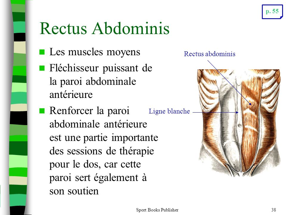 Rectus Abdominis Les muscles moyens