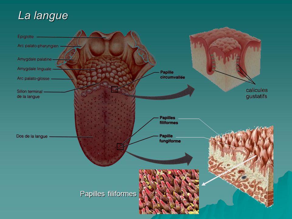 La langue Papilles filiformes