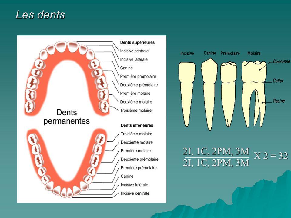 Les dents 2I, 1C, 2PM, 3M 2I, 1C, 2PM, 3M X 2 = 32