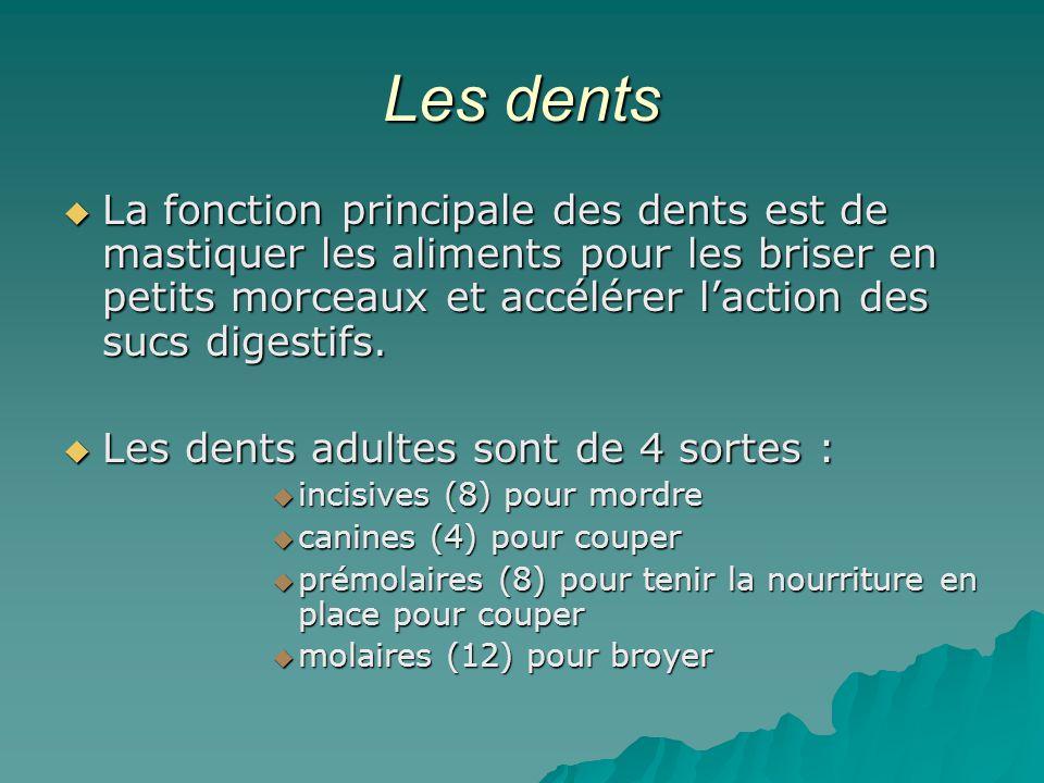 Les dents La fonction principale des dents est de mastiquer les aliments pour les briser en petits morceaux et accélérer l'action des sucs digestifs.