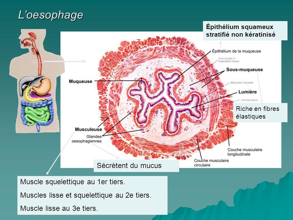 L'oesophage Sécrètent du mucus Muscle squelettique au 1er tiers.