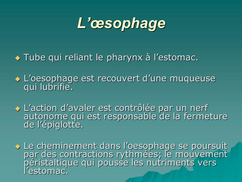 L'œsophage Tube qui reliant le pharynx à l'estomac.