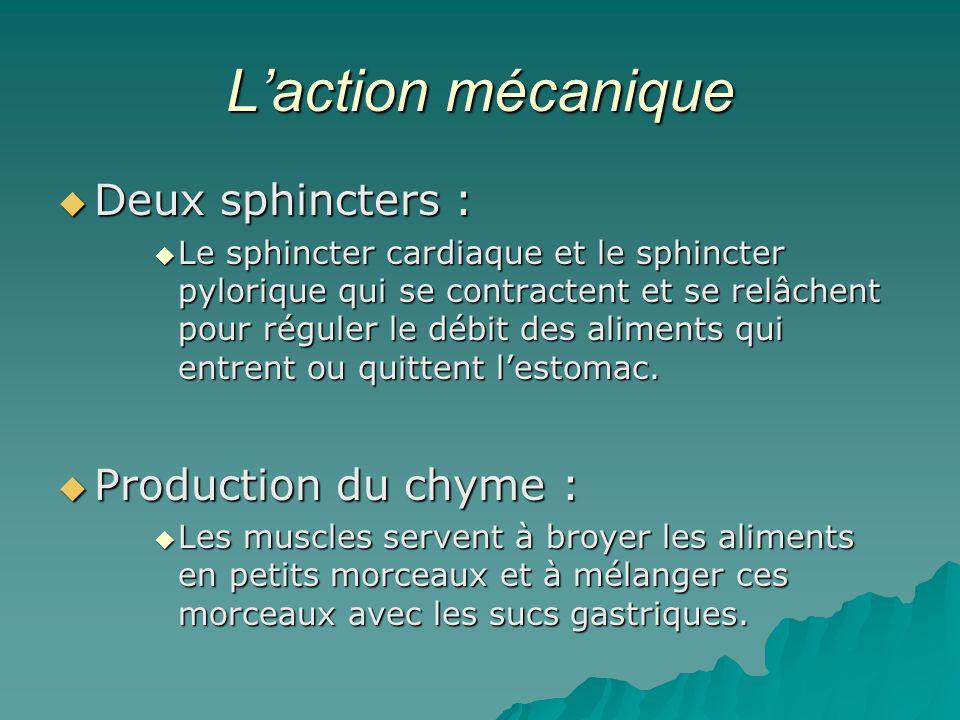 L'action mécanique Deux sphincters : Production du chyme :