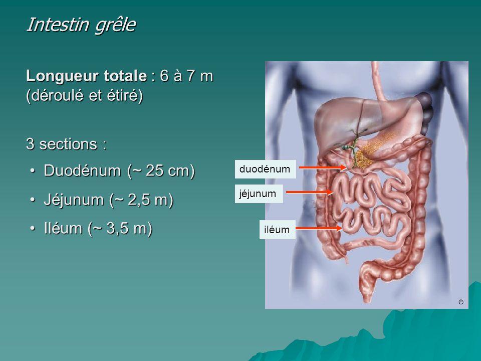Intestin grêle Longueur totale : 6 à 7 m (déroulé et étiré)