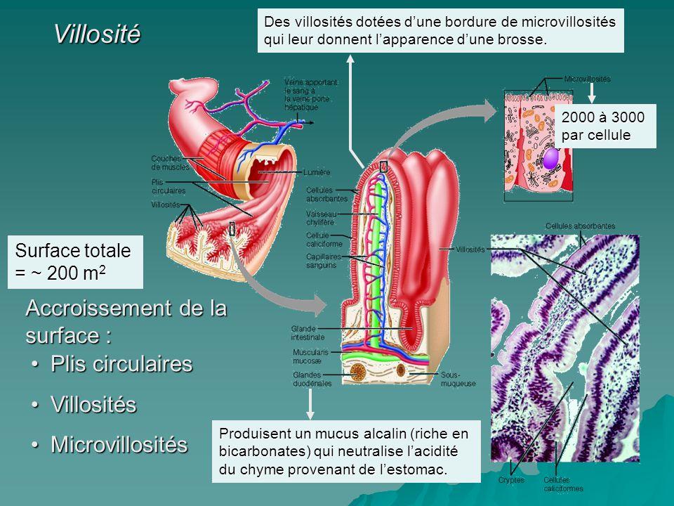 Villosité Accroissement de la surface : Plis circulaires Villosités