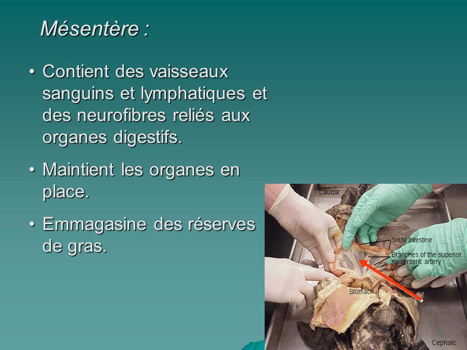 Mésentère : Contient des vaisseaux sanguins et lymphatiques et des neurofibres reliés aux organes digestifs.