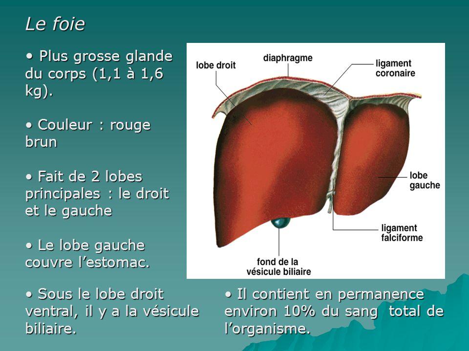 Le foie Plus grosse glande du corps (1,1 à 1,6 kg).