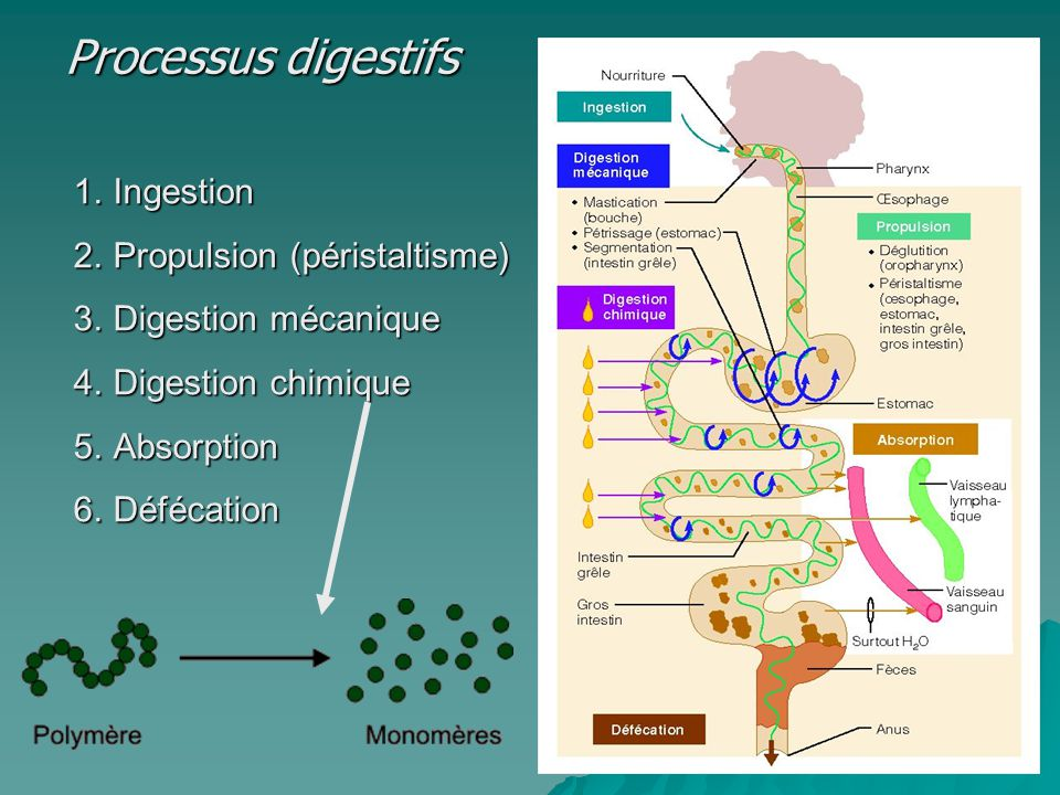 Processus digestifs Ingestion Propulsion (péristaltisme)