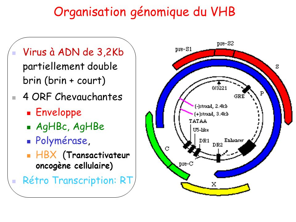 Organisation génomique du VHB