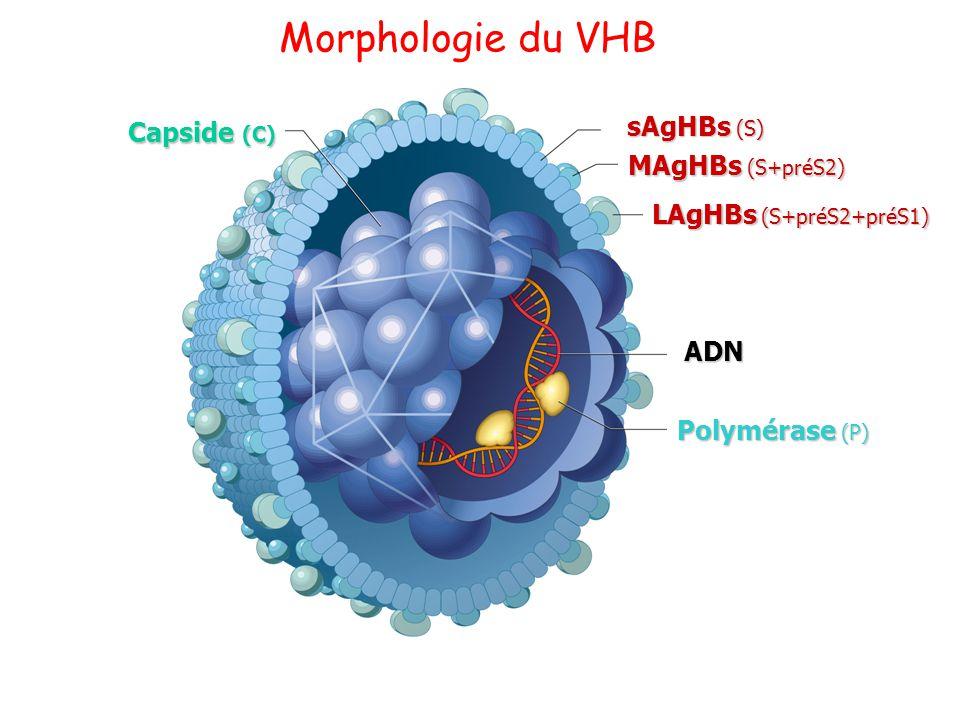 Morphologie du VHB Capside (C) MAgHBs (S+préS2) LAgHBs (S+préS2+préS1)