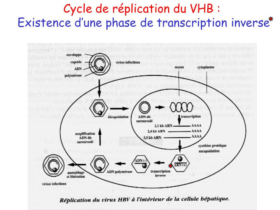 Cycle de réplication du VHB :