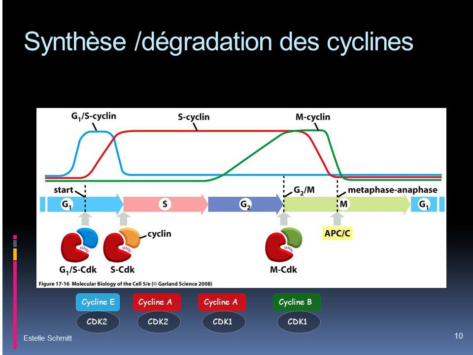 Synthèse /dégradation des cyclines
