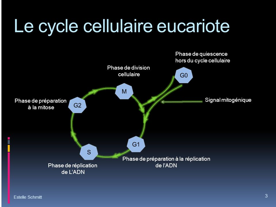 Le cycle cellulaire eucariote
