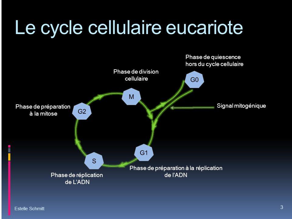 Le cycle cellulaire eucariote