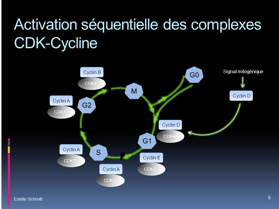 Activation séquentielle des complexes CDK-Cycline