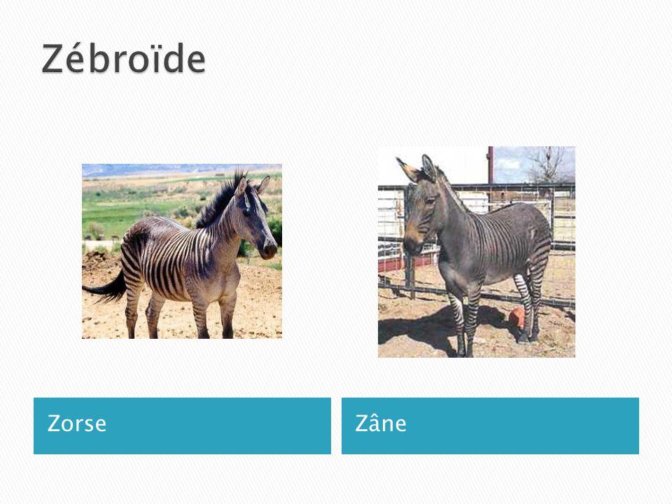 Zébroïde Zorse Zâne