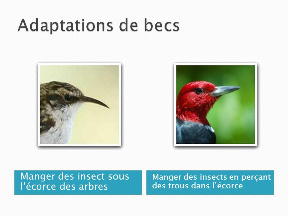 Adaptations de becs Manger des insect sous l'écorce des arbres