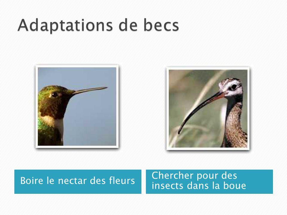 Adaptations de becs Chercher pour des insects dans la boue