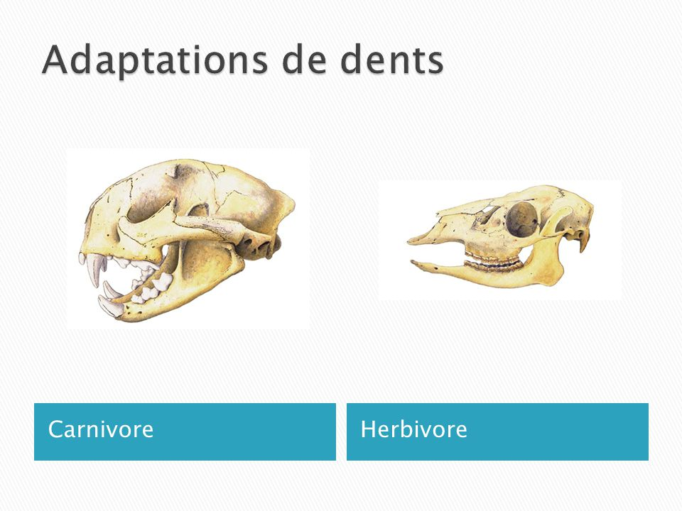 Adaptations de dents Carnivore Herbivore