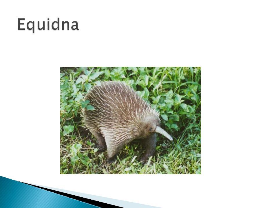 Equidna