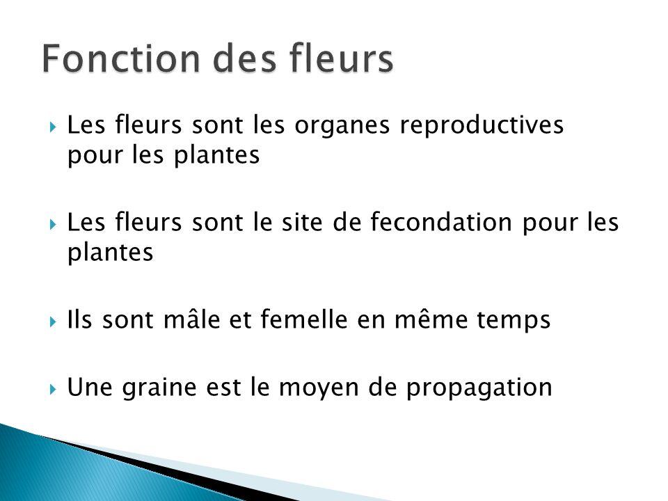 Fonction des fleurs Les fleurs sont les organes reproductives pour les plantes. Les fleurs sont le site de fecondation pour les plantes.