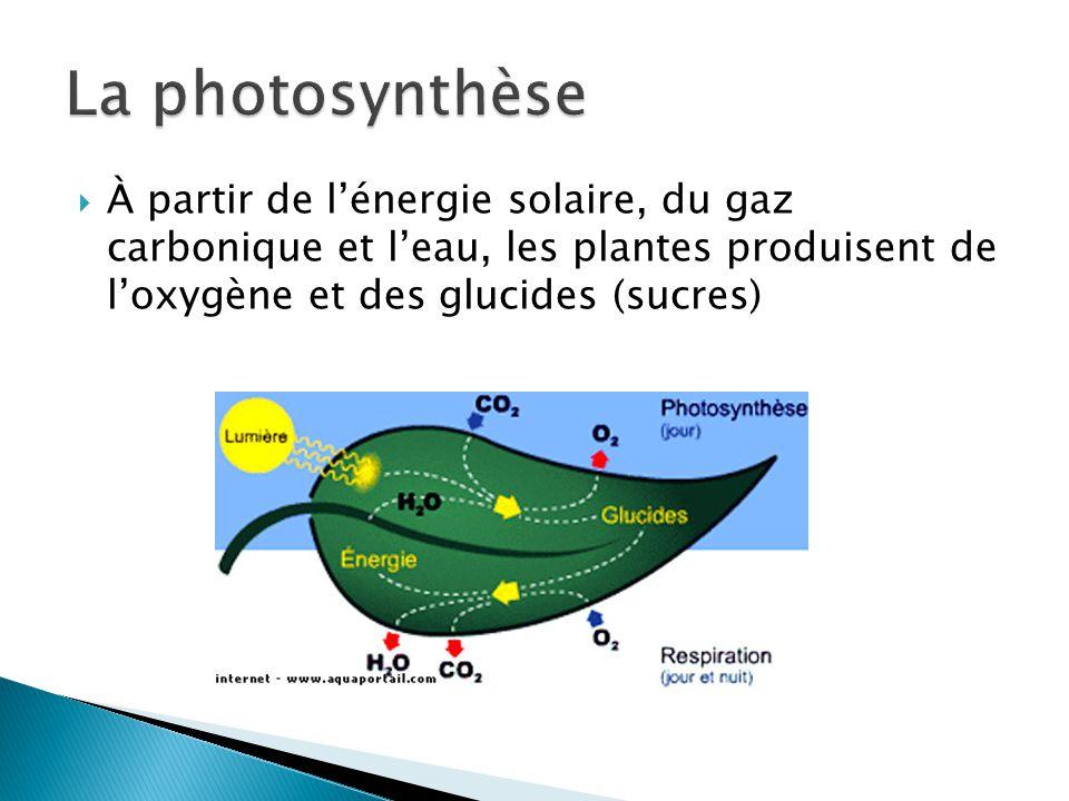 La photosynthèse À partir de l'énergie solaire, du gaz carbonique et l'eau, les plantes produisent de l'oxygène et des glucides (sucres)