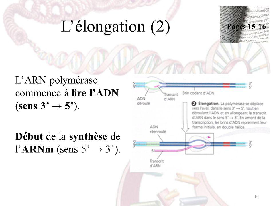 L'élongation (2) Pages 15-16. L'ARN polymérase commence à lire l'ADN (sens 3' → 5').
