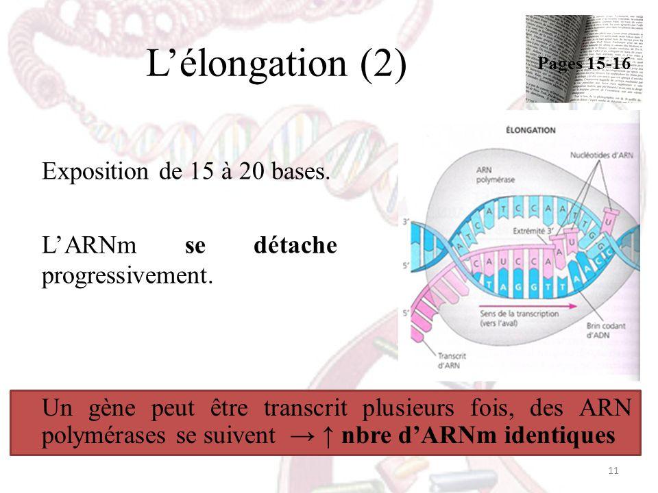 L'élongation (2) Exposition de 15 à 20 bases.