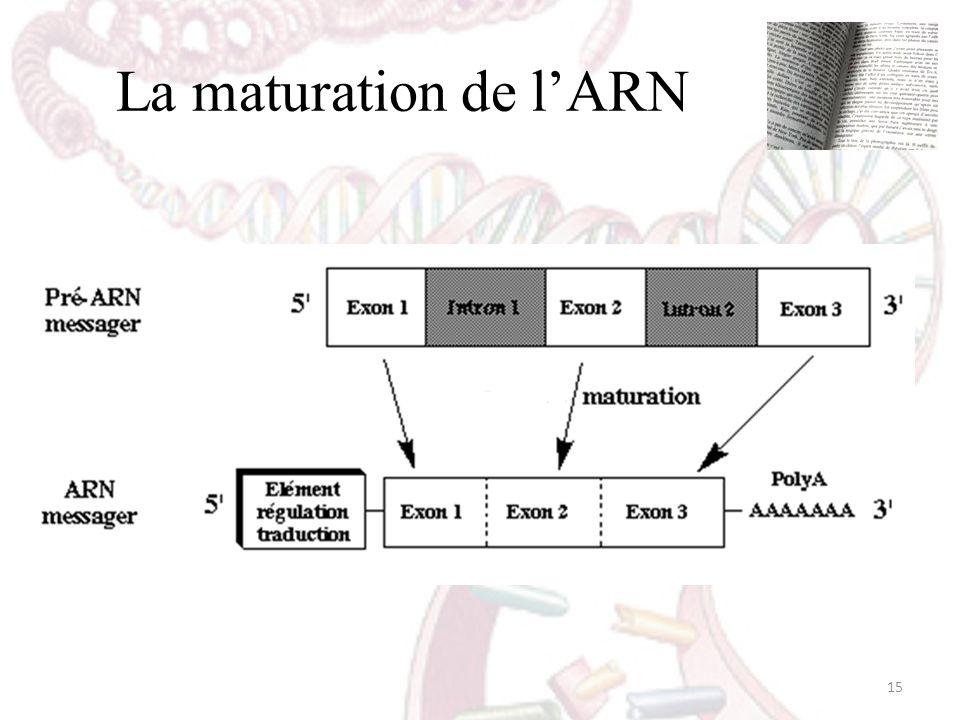 La maturation de l'ARN