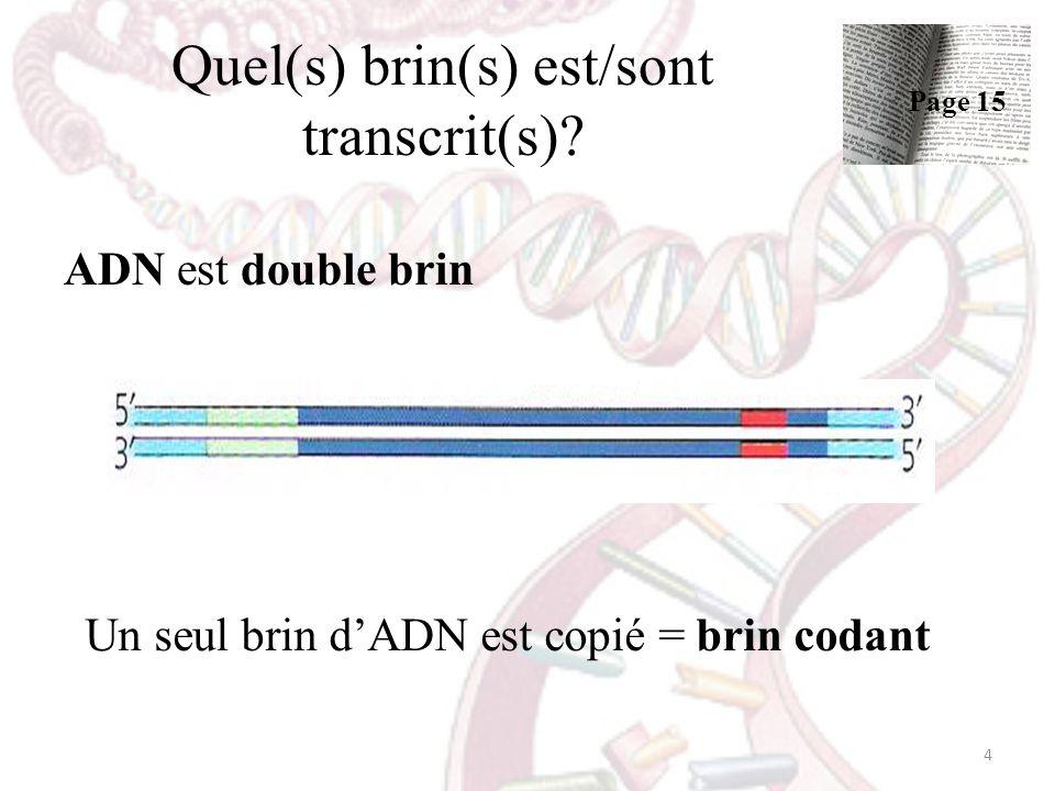 Quel(s) brin(s) est/sont transcrit(s)