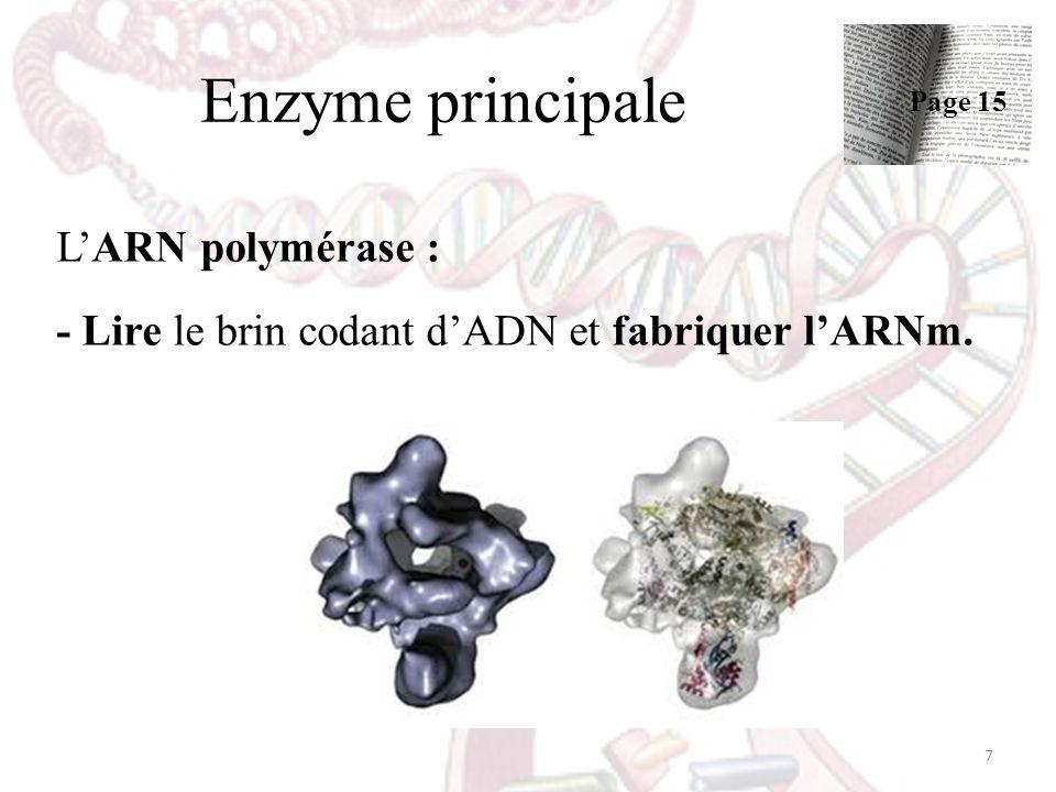 Enzyme principale Page 15 L'ARN polymérase : - Lire le brin codant d'ADN et fabriquer l'ARNm.