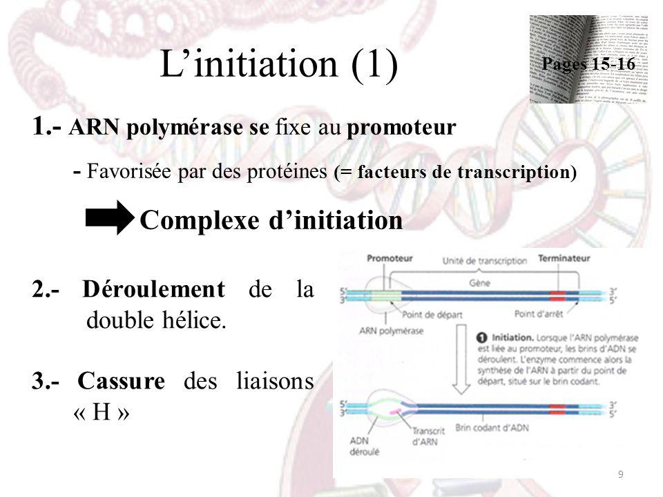 L'initiation (1) 1.- ARN polymérase se fixe au promoteur