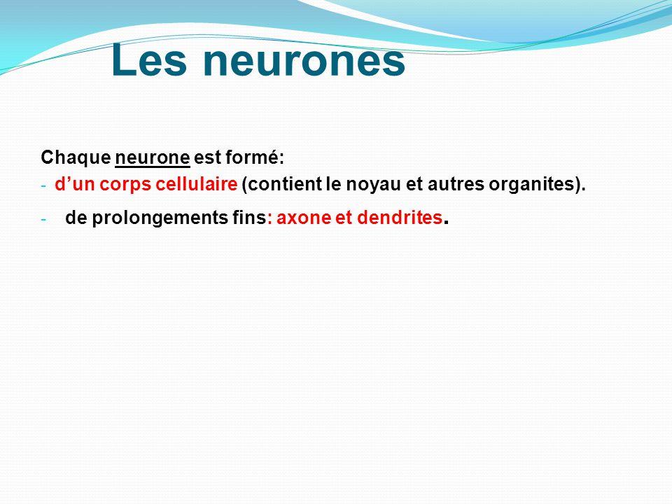 Les neurones Chaque neurone est formé: