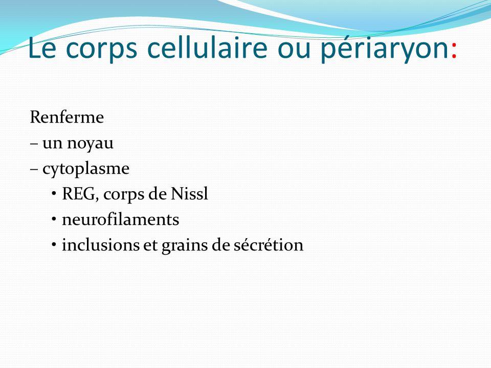 Le corps cellulaire ou périaryon: